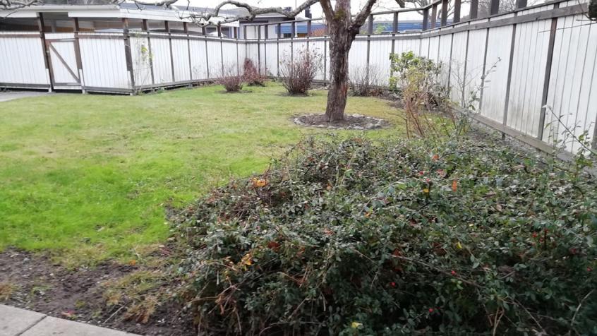 En oxbärsbuske pryder ena hörnet av tomtens framsida.