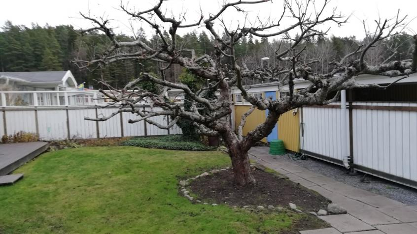 Det här äppelträdet har en mycket vacker krona