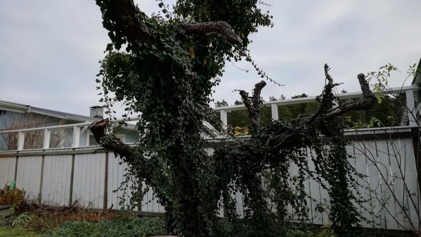 På tomten växer murgrönan vackert upp och klär in stammen från ett gammalt träd