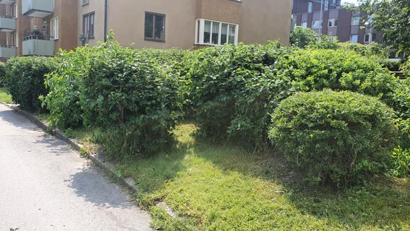 Det finns många olika buskar runt uteplatsen som formbeskärs
