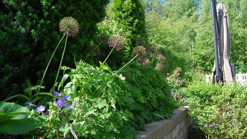 Allium som med sin höjd ger kontraster i rabatten