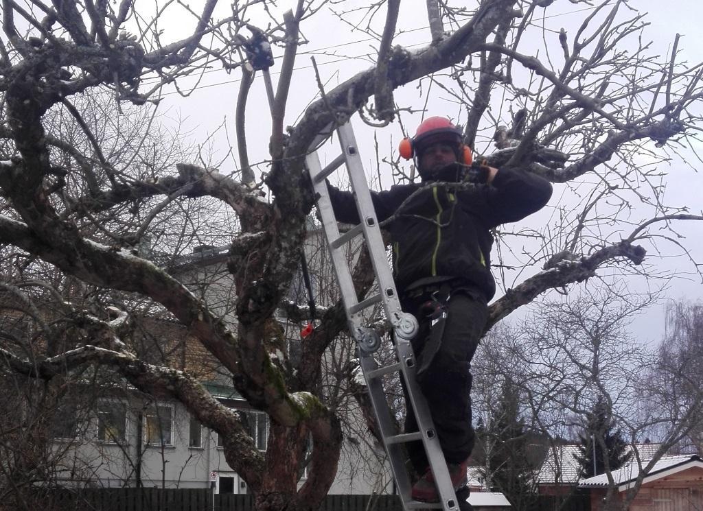 Miron uppflugen i trädet för att beskära