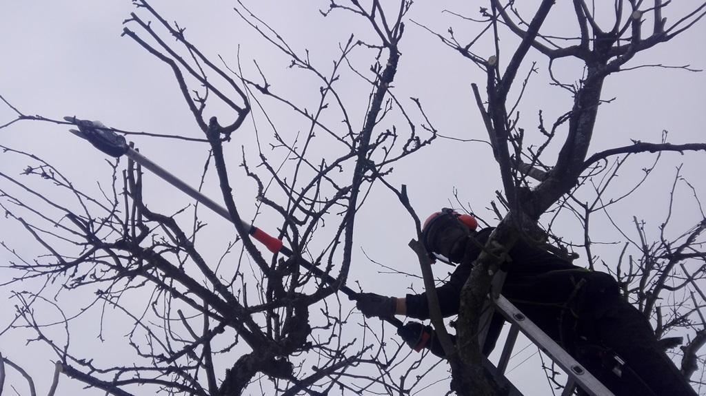 Vi använder stångsaxar för att komma åt och för att inte skada trädet.