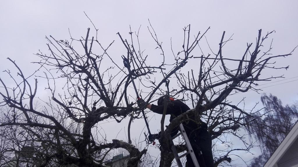 Vi beskär även när det är några minusgrader, det går bra både för trädet och för våra arbetare.