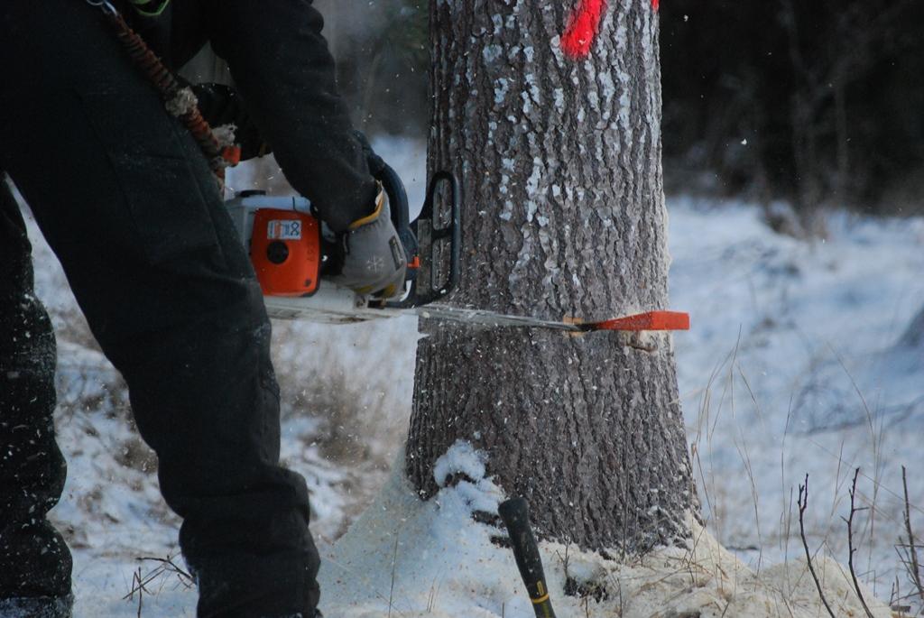 Miron fäller trädet genom att kapa