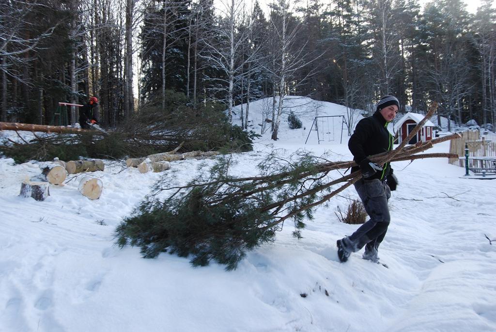 Miron kvistar av trädet och Piotr börjar dra ris på en gång.