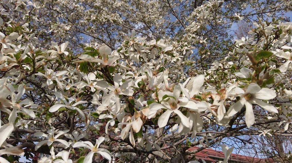 En sista bild som visar den japanska magnolian som blommar överdådigt i en park i Sigtuna