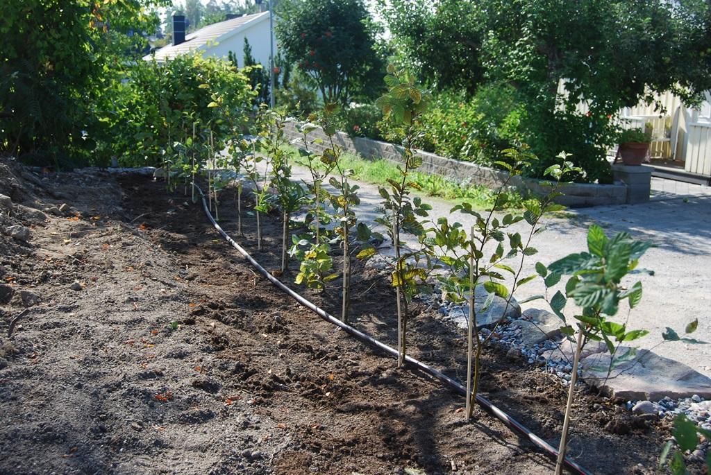 Vi levererade krukodlade avenboksplantor som snabbare etablerar sig än barrotade.