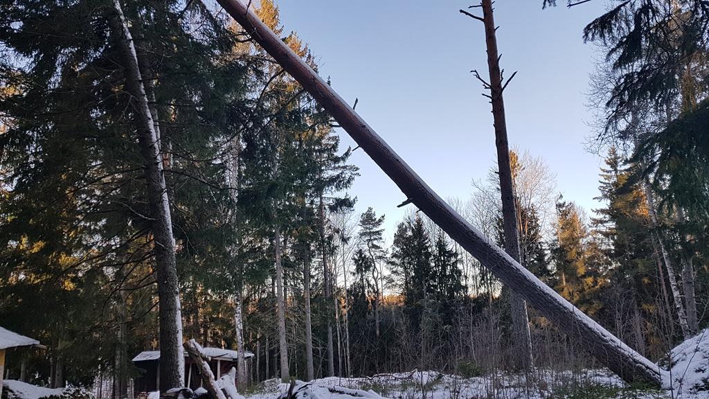 Änne ett stormfällt träd i Brottby