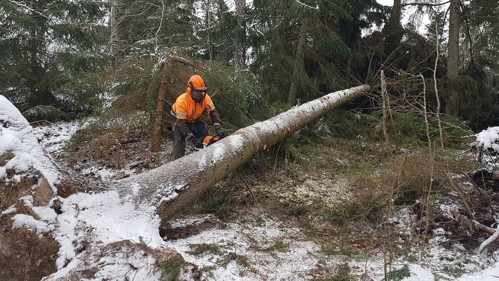 Uppsågning av träd.
