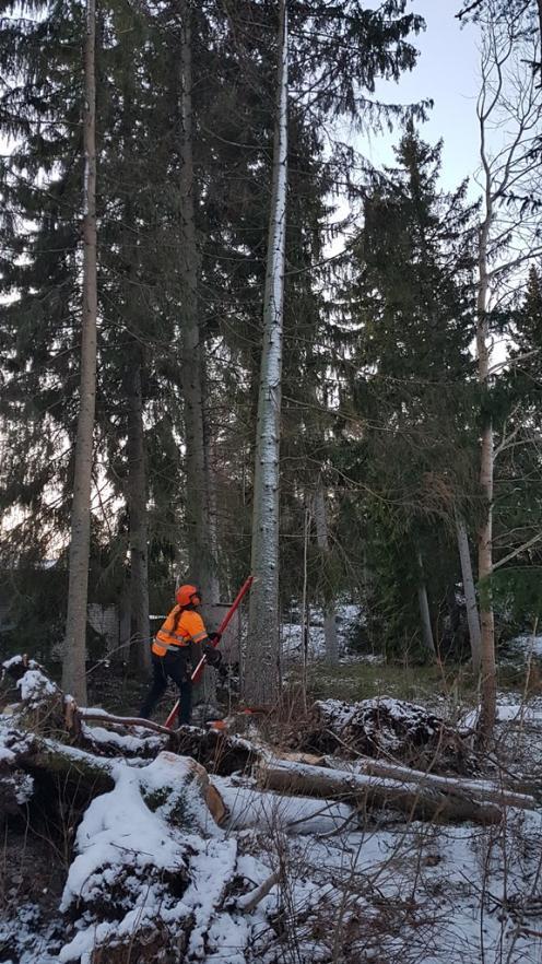 Gångjärn och snitt sågade, här så vevar Anders och trycker omkull trädet i rätt riktning