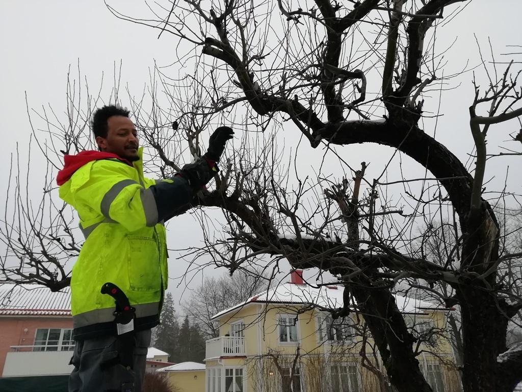 Yacob beskär äppelträden