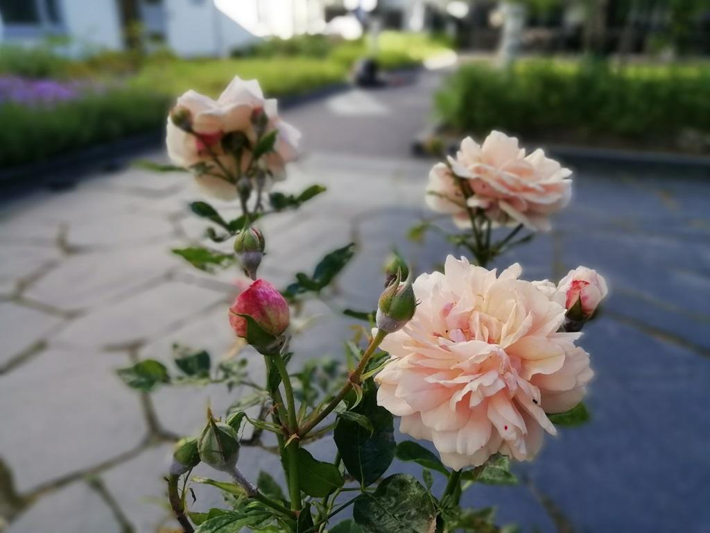 Det växer vackra buskrosor på innergården