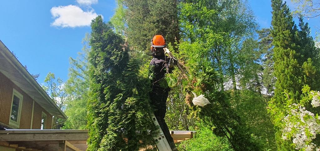 Biemnet har klivit upp ett par meter på en stege för att kunna fälla thujan utan att skada hus och andra växter.