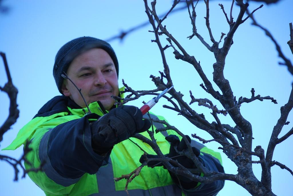 Piotr beskär trädet med varsam hand