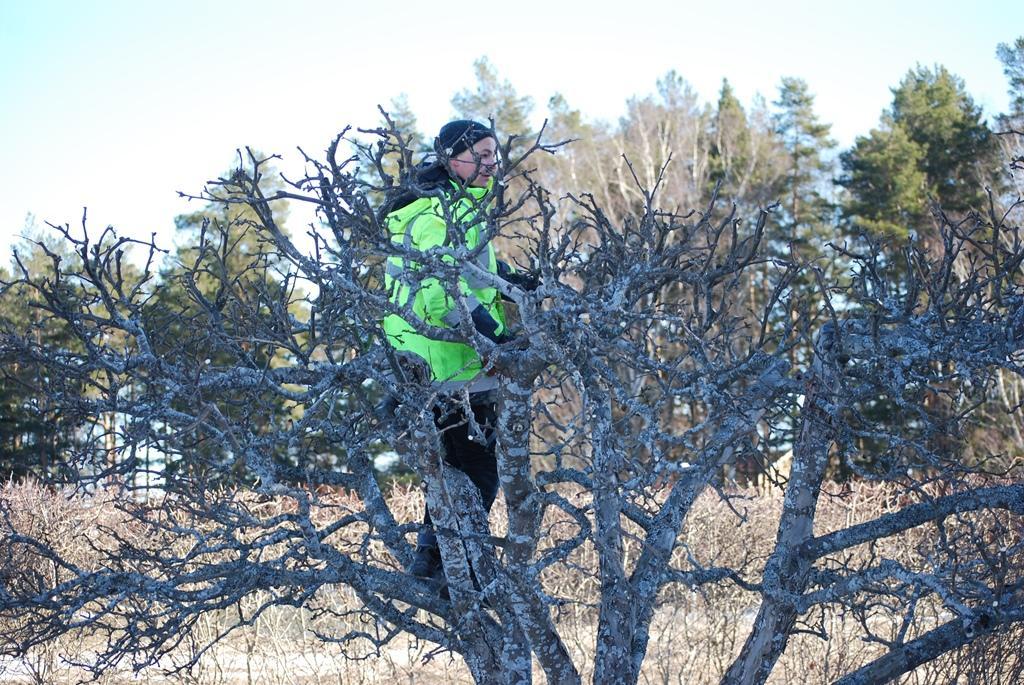 Enklast är ibland att bara klättra upp i trädet och beskära det. Då ser man bäst vad man gör.