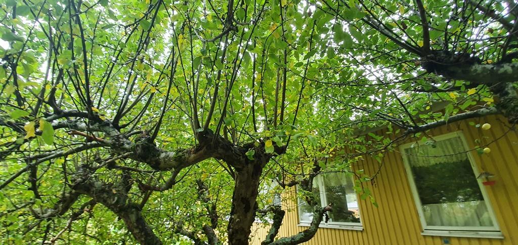 Träden hade inte beskurits på flera år så det var många relativt kraftiga grenar som gick rätt uppåt.