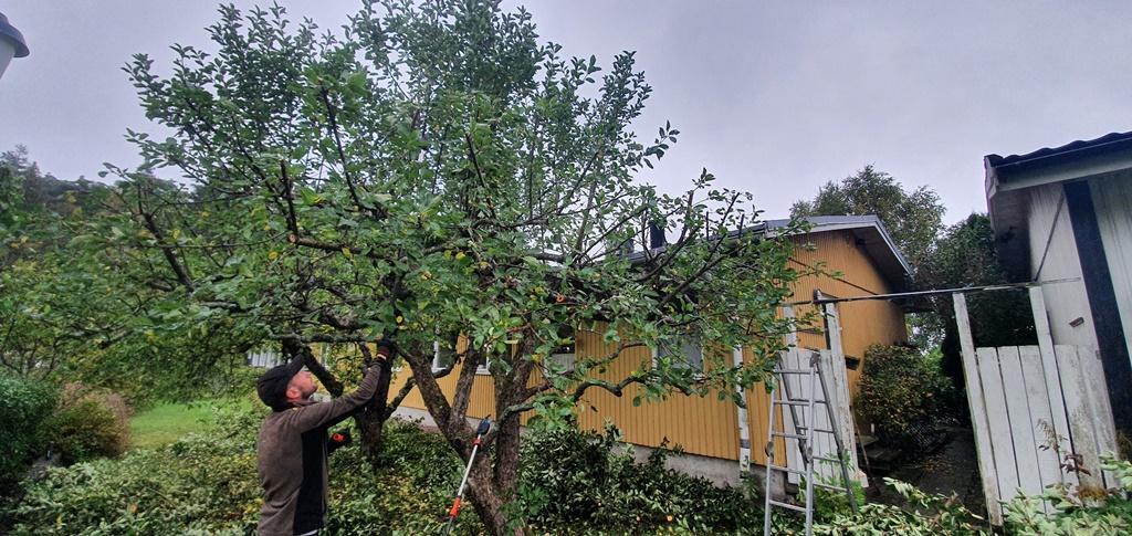Arbete pågår - Jakob beskär det ena trädet