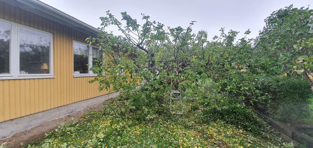 Träden var lite olika - som alla träd är - så här är det andra äppelträdet efter beskärningen.
