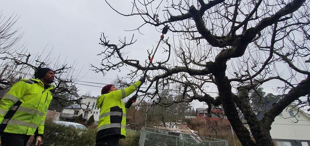 Biemnet överser arbetet när Johan beskär äppelträdet