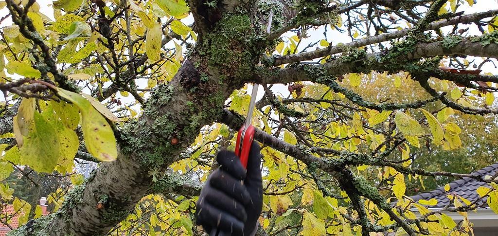 Vi använder också grensågar för att ta bort större grenar.