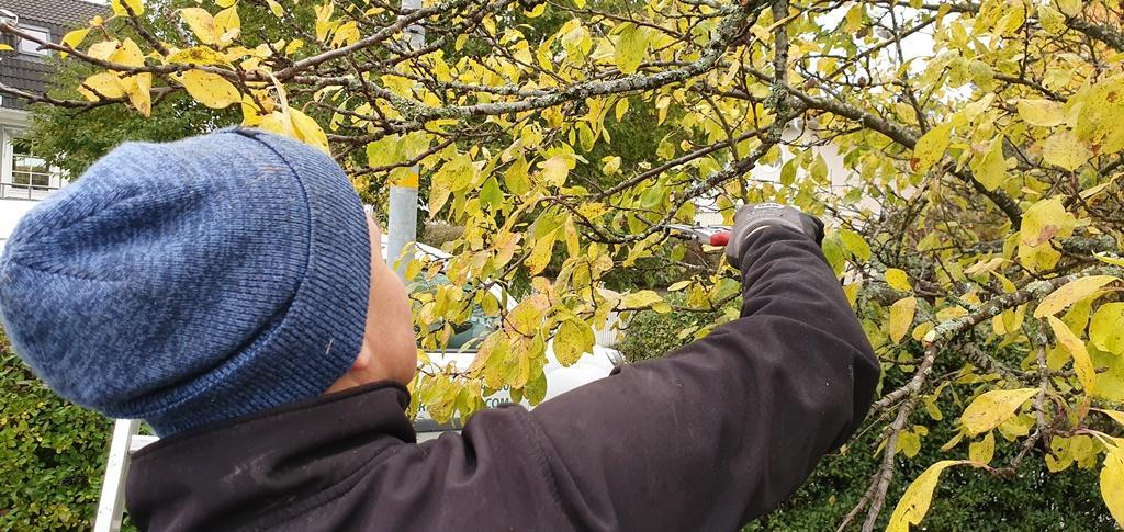Vi beskär alltid bort döda grenar och ser till att få en bra balans mellan gammal fruktved och nya skott så att trädet får en kontinuerlig förnyelse.