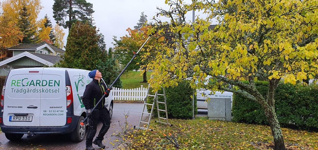 Trädet var normalstort och vi använder stångsaxar för att putsa övre delen av kronan.