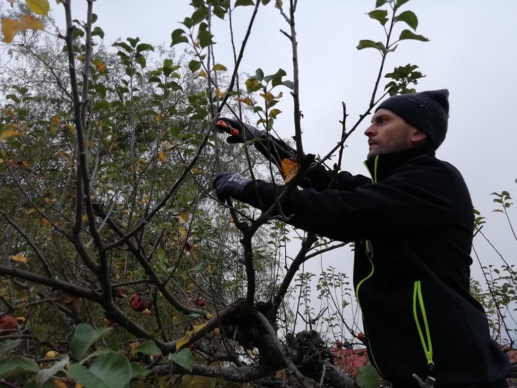 Jakob tar sig an ett av äppelträden. Trädet hade vissa skador på en av huvudgrenarna, men vi beslöt låta grenen vara kvar