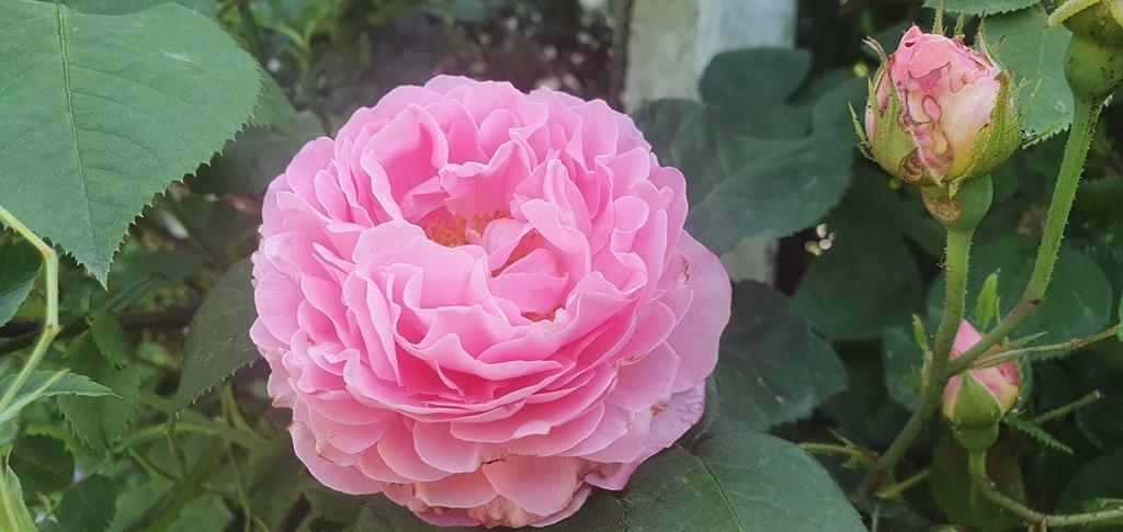 Rosorna stod i full blom, så det blev en fin bukett till kunden.