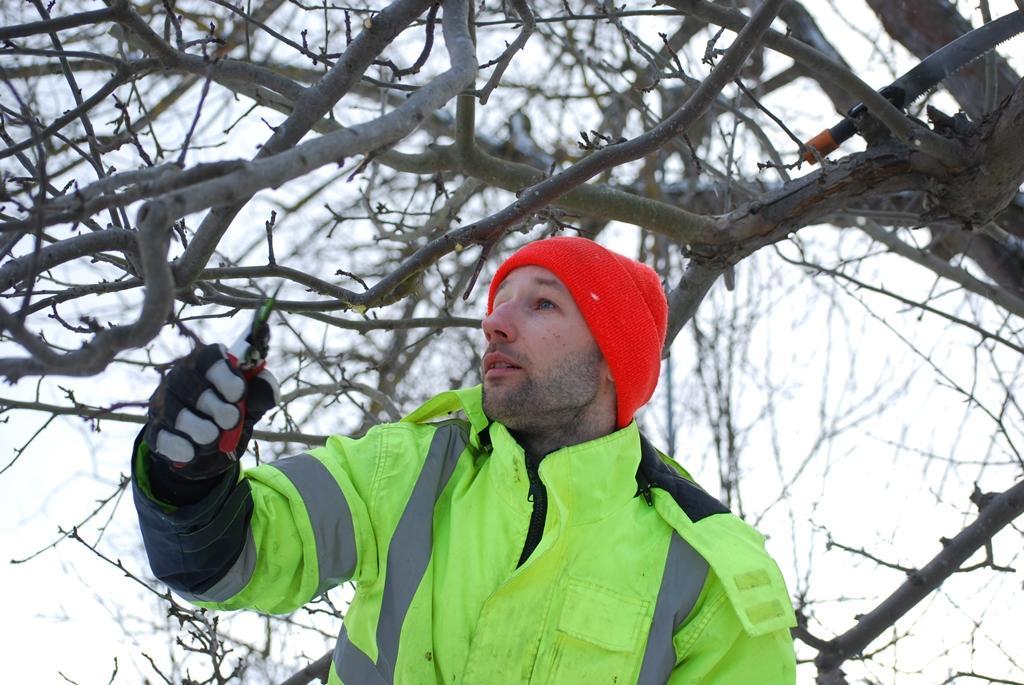 Roman väljer ut nästa gren att beskära på ett äppelträd hos kunden.
