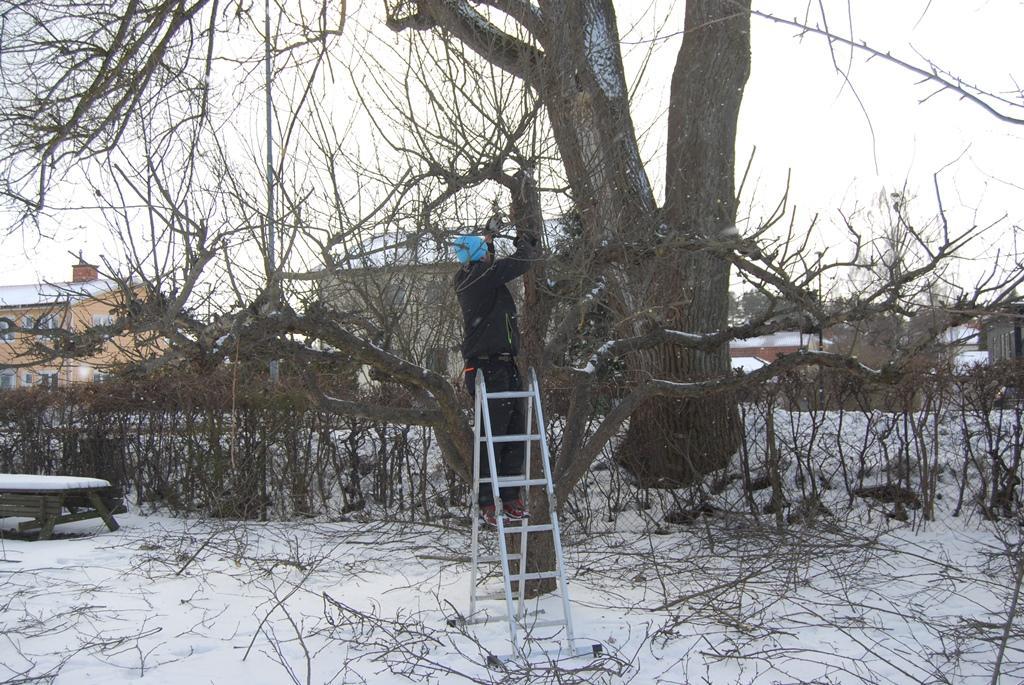 Beskärning av äppelträd på vårvintern.