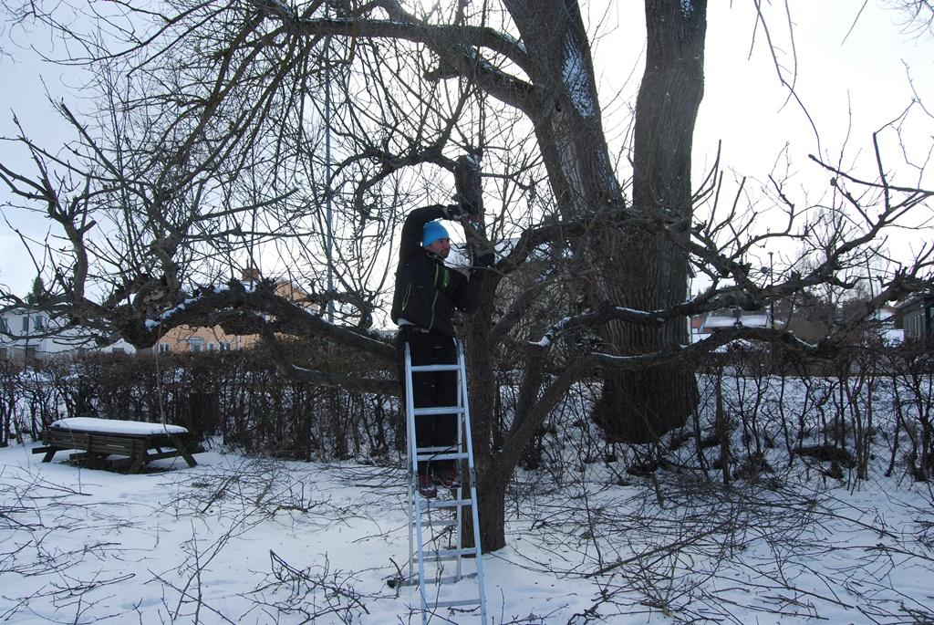 Miron klipper äppelträdet.