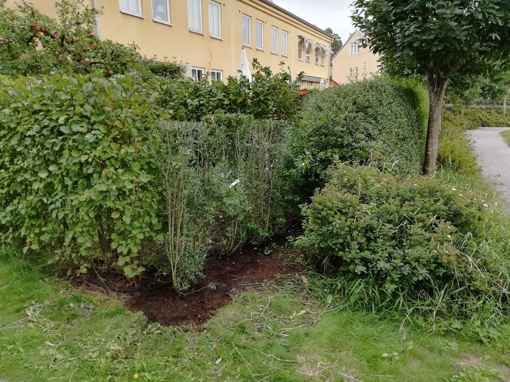 Lite svårt att se, men här är alltså 4 nya häckplantor satta för att förlänga häcken ut till hörnet på tomten.