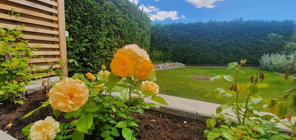 Det fanns många mycket vackra blommande rosor i trädgården