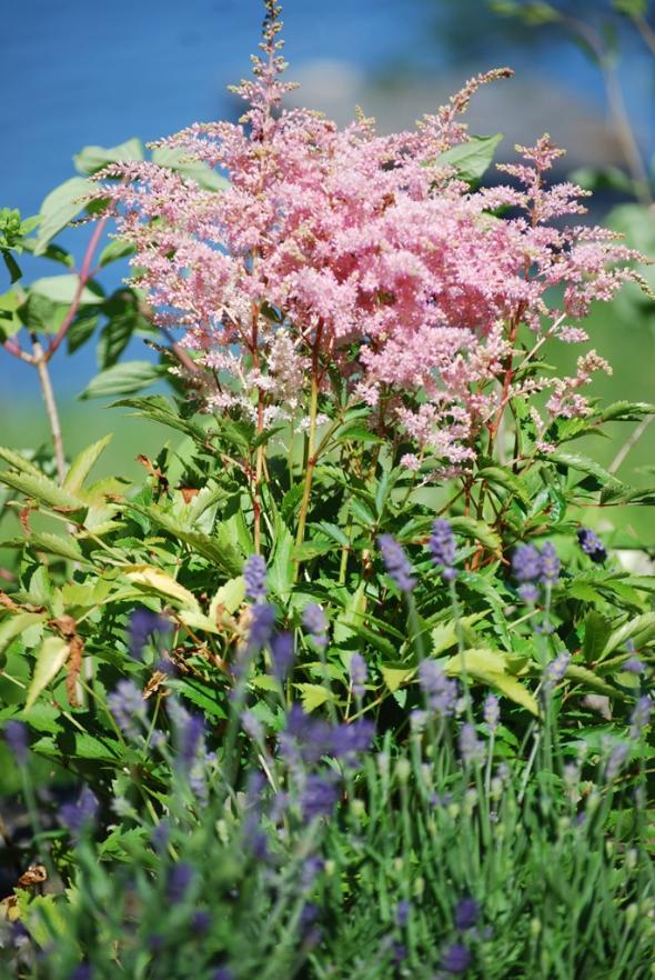 Astilbens rosa skimmer ger vacker brytning mot lavendels blåa toner.