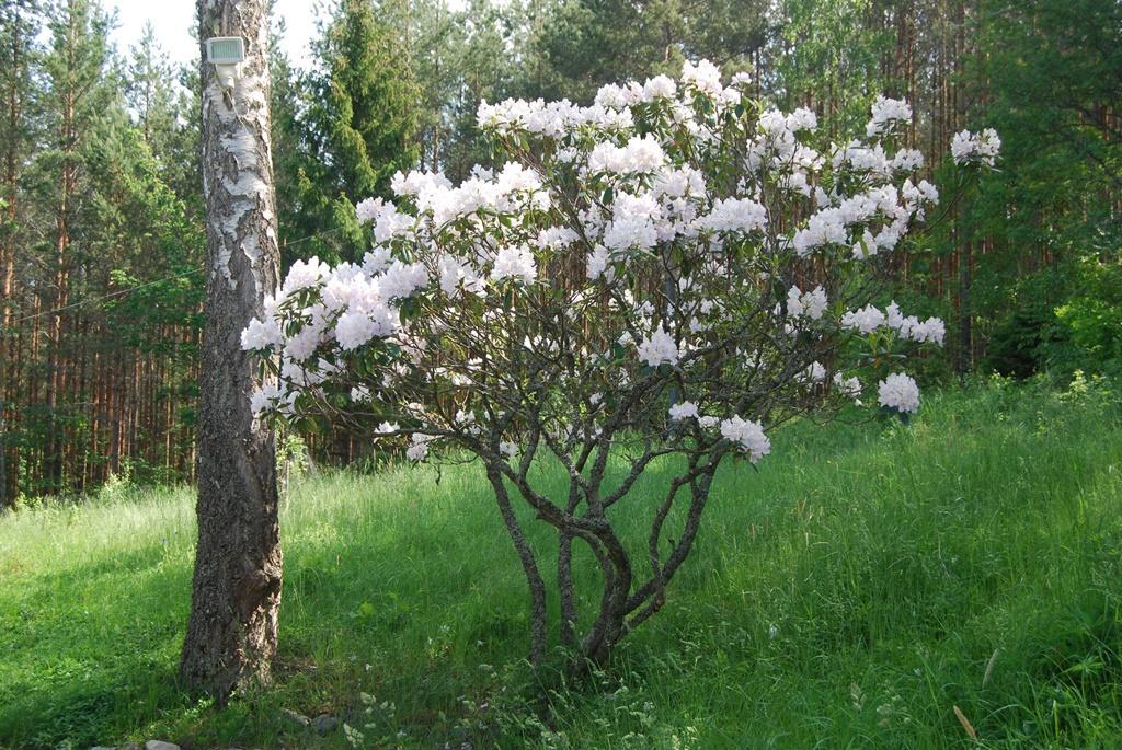 På tomten växer flera vackra gamla rododendronbuskar i olika färger.