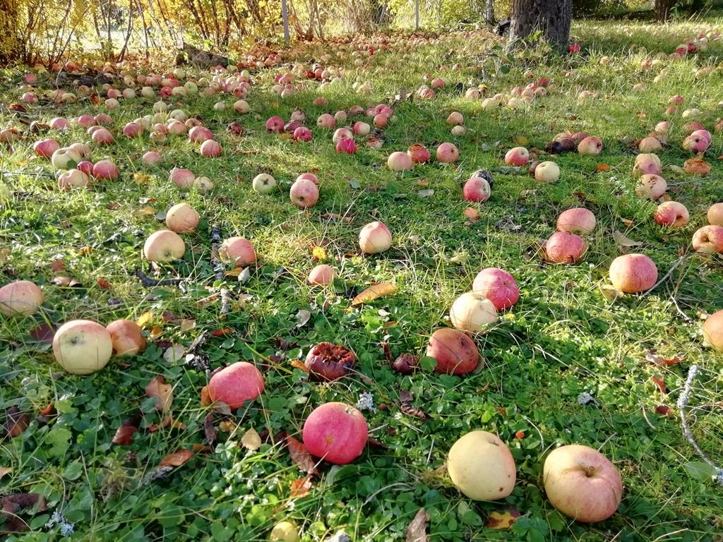 Fallfrukt i morgonsol