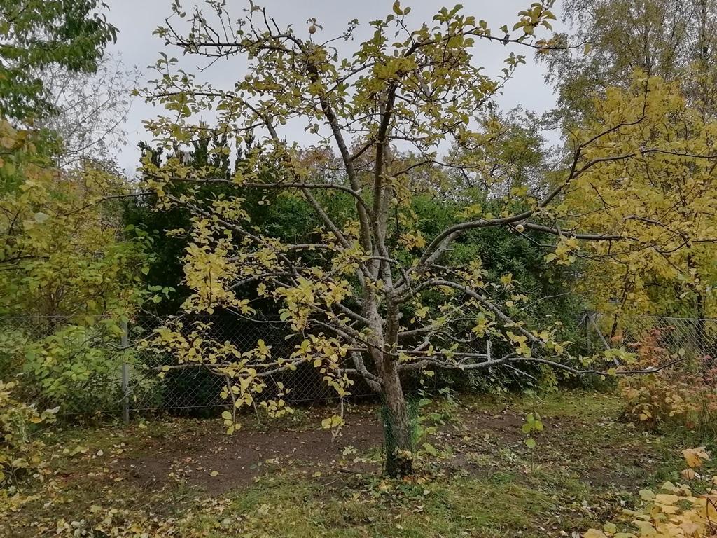 Trädet är nu luftigare, vi har både hanterat vattenskott samt äldre grenar och strävat efter att få balans i trädets krona.