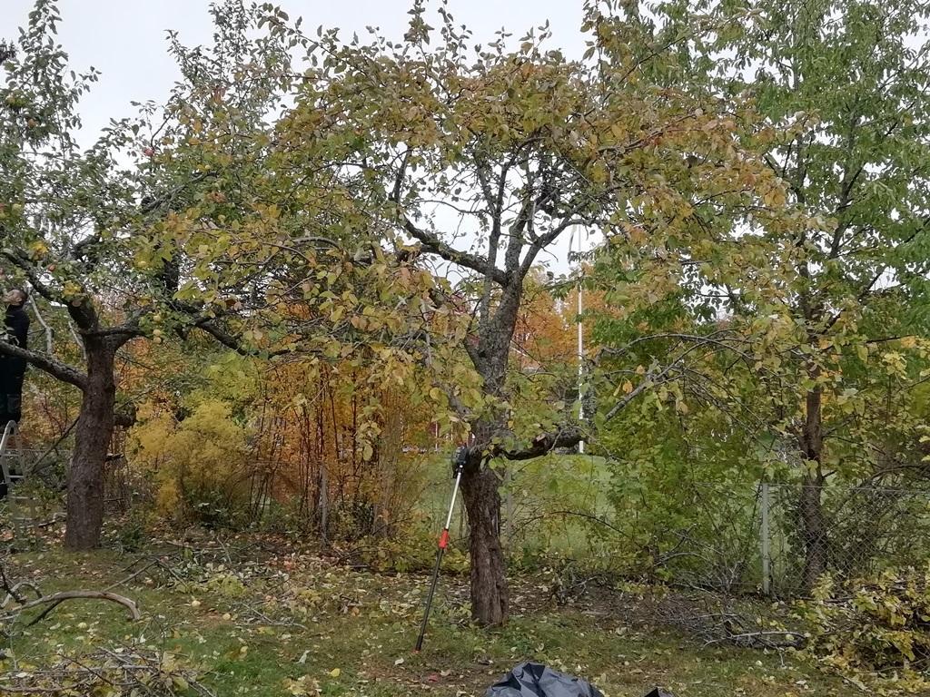 här är trädet efter beskärningen.