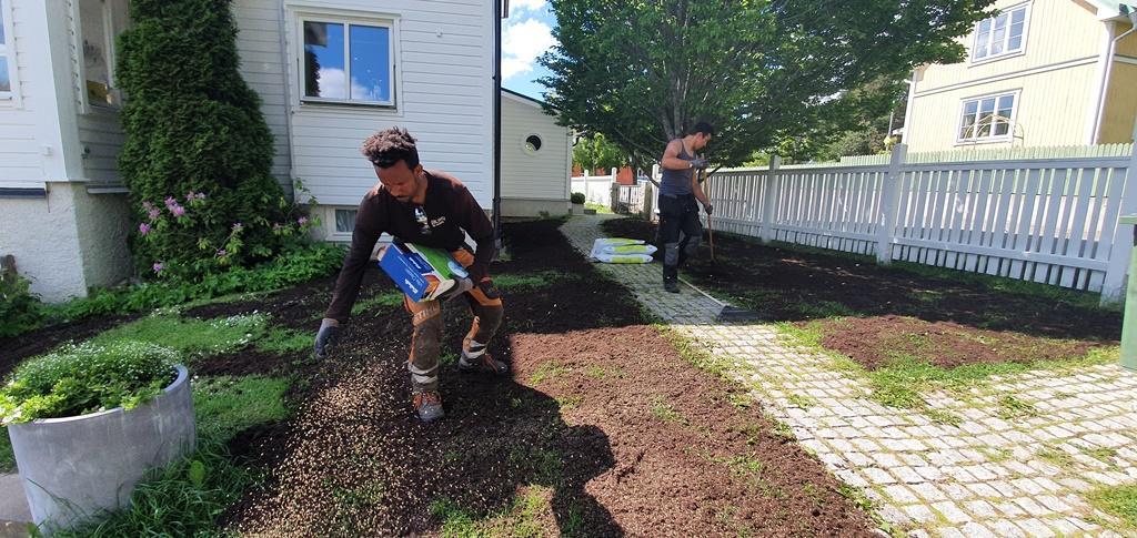 Slutfasen på en gräsmatterenovering - stödsådd av gräsfrö.
