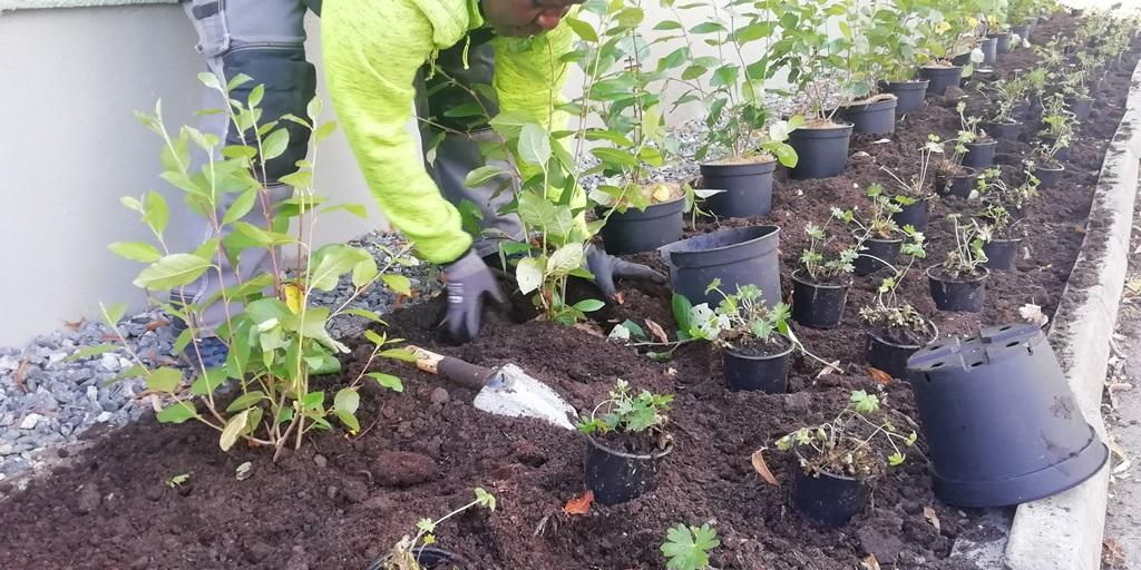 Joice planterar Aronia invid husfasaden