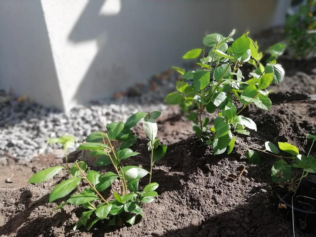 Aroniaplantorna på plats. Vi gjorde en planteringsbeskärning, dvs skar ner plantorna till ca 15-20 cm höjd. På det sättet kommer plantorna att förgrena sig bra och bli tätare.