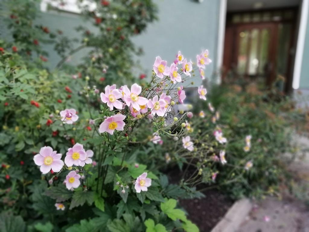 Rosenskäran blommade vackert.