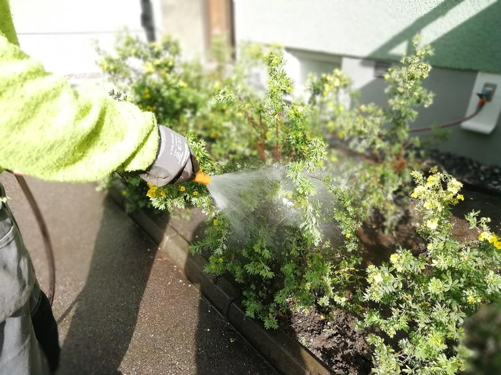 Även de buskar vi flyttade fick rejält med vatten.