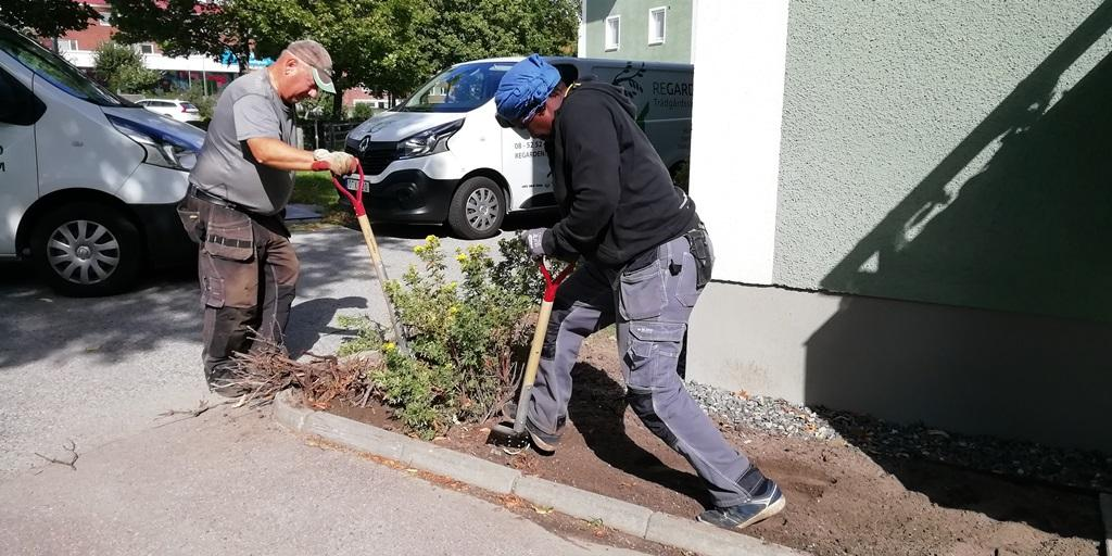 Vi tog vara på de växter som var bra. Här gräver vi upp en ölandstok för att flytta till annat ställe.