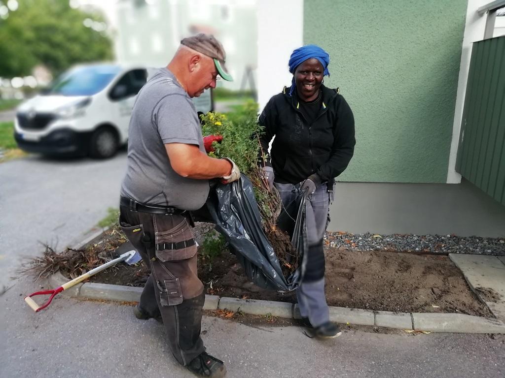 Vi använder säckar för att flytta plantan så att vi skyddar rotsystemet.