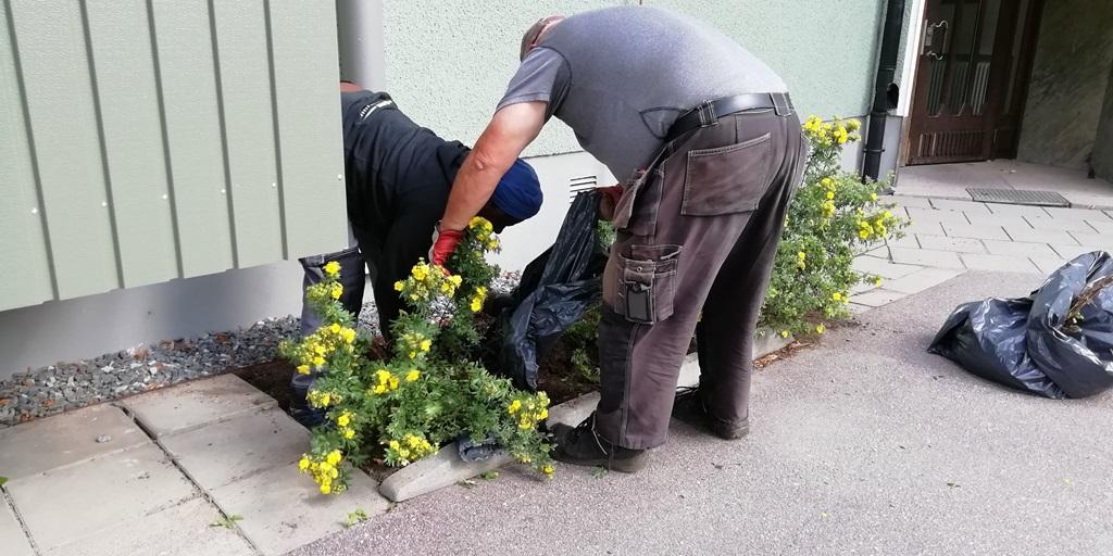 Det är bra att vara två när man flyttar buskar, då är det lättare att vara rädd om plantorna.