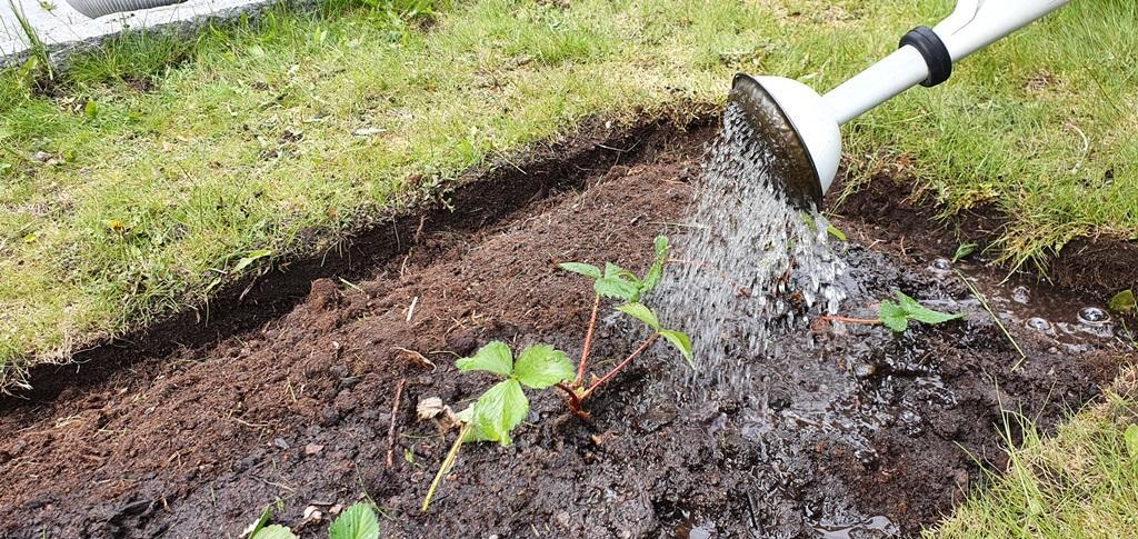 Rabatten framrensad, jorden fick tillskott av kogödsel innan vi planterade jordgubbsplantorna och vattnade.