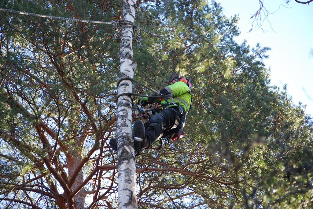 Miron har här fäst ett rep vid toppen så att Nikola kan dra toppen i rätt riktning när den faller.