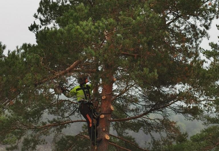 Det är viktigt att säkerställa att grenarna inte skadar fällaren när de kapas.